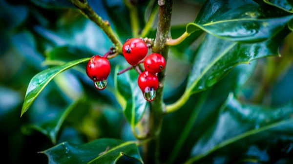 Dripping Red Berries