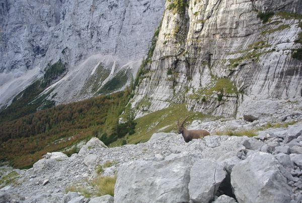 Wild Alpine Ibex
