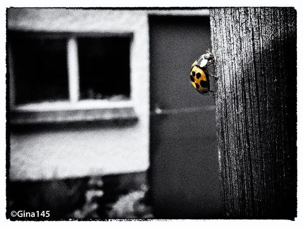 Giant Ladybird