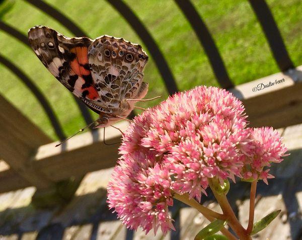 Butterfly Sedum