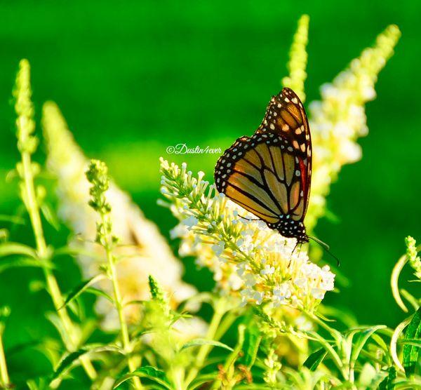 Monarch in Garden