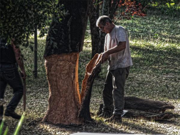 Harvesting the cork