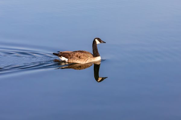 Goose or Geese