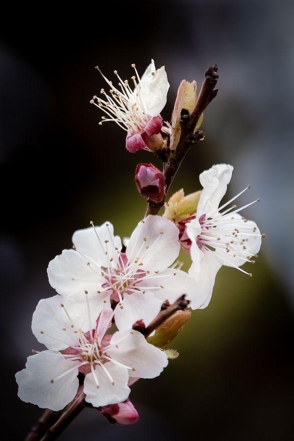 Fruit Blossom - Capitol Reef National Park
