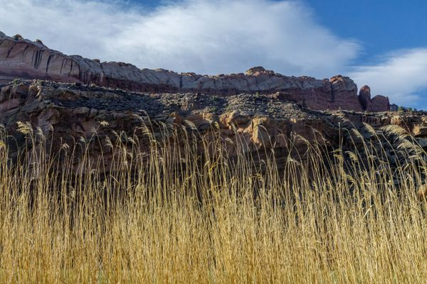 Tall Native Grasses - Capitol Reef National Park