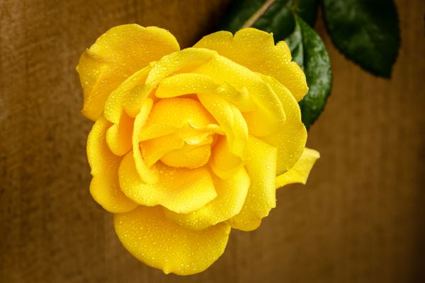 Yellow Rose- Not from Texas