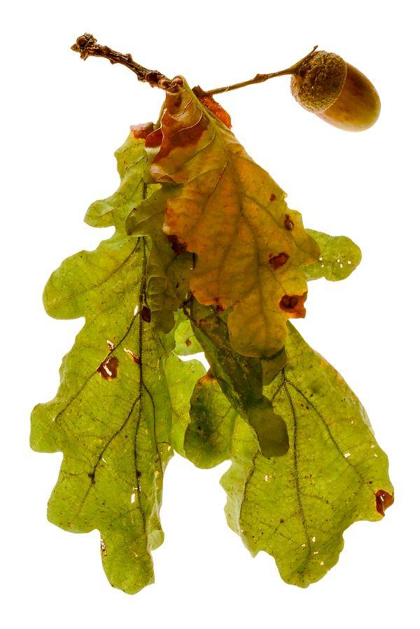 Oak leaves and acorn.
