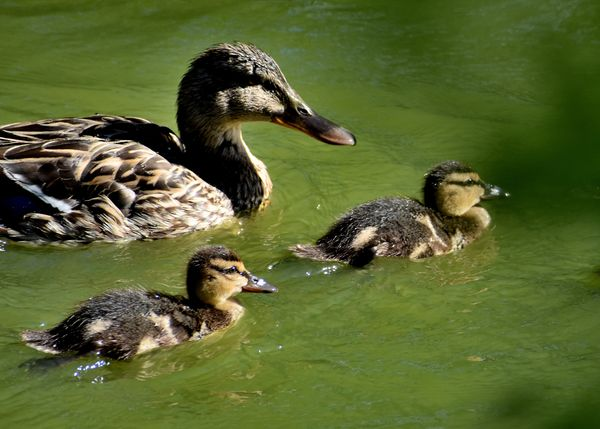 Mallard Duck and Chicks