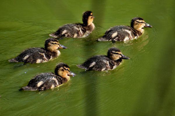 Mallard Duck Chicks