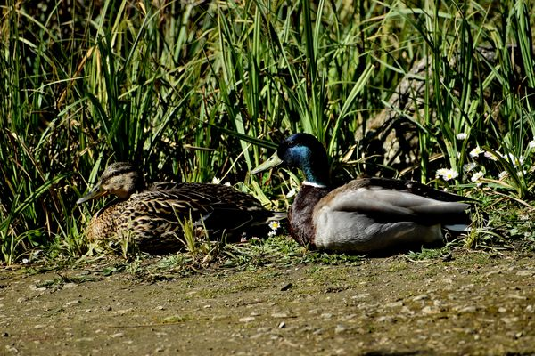 Mallard Ducks Male and Female
