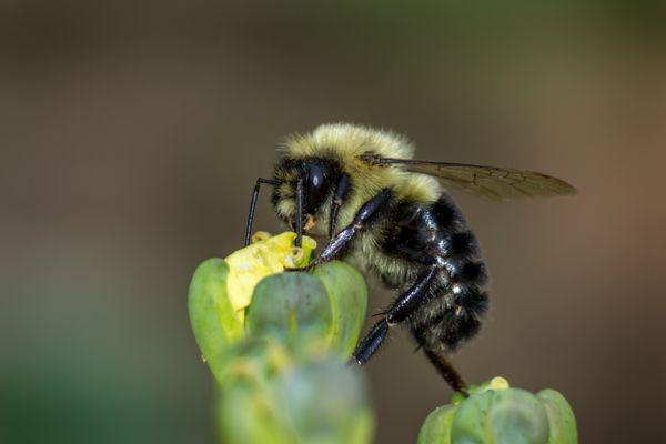 Bee on broccoli floret