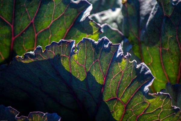 Red Cabbage Leaves in the Light