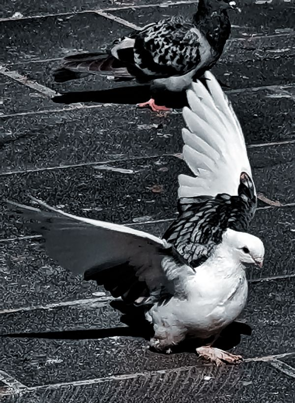 Pigeon just before to fly