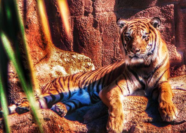 Tiger resting at Zoo
