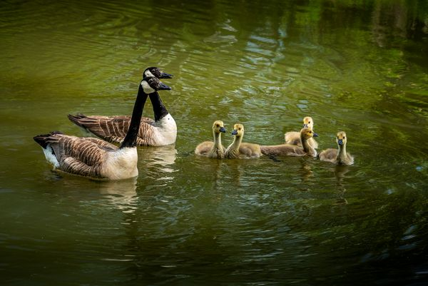 Canada Goose Family (Branta canadensis), Farnham Ponds, Warwickshire