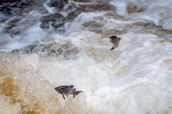 Two Salmon Jumping the Falls of Shin, River Shin, Highlands, Scotland