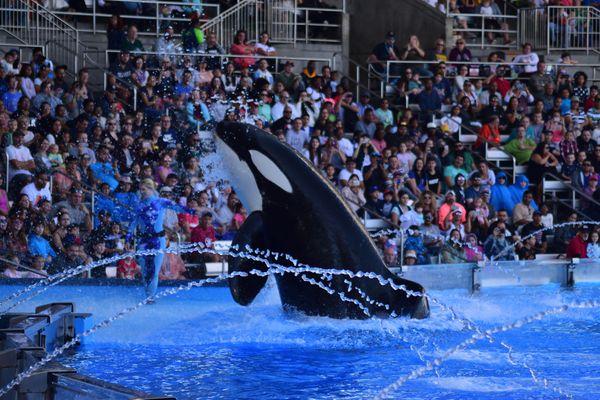 Orcas Dancing