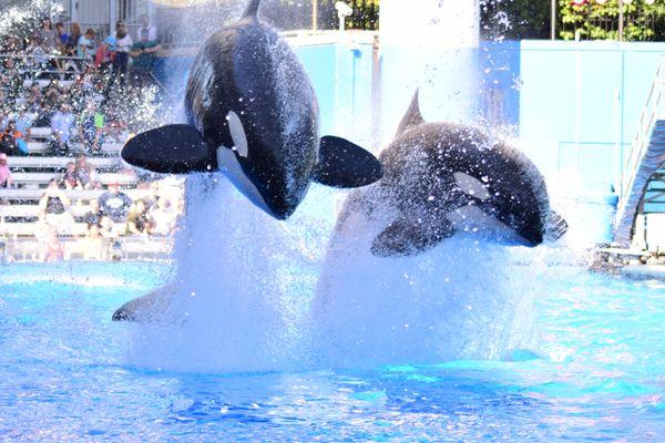 Orcas Show