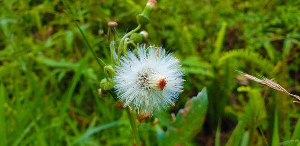 Beautiful fireweed