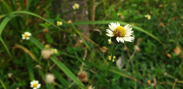 Small Daisy flower in the forest