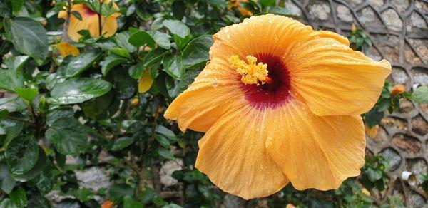 Big orange hibiscus