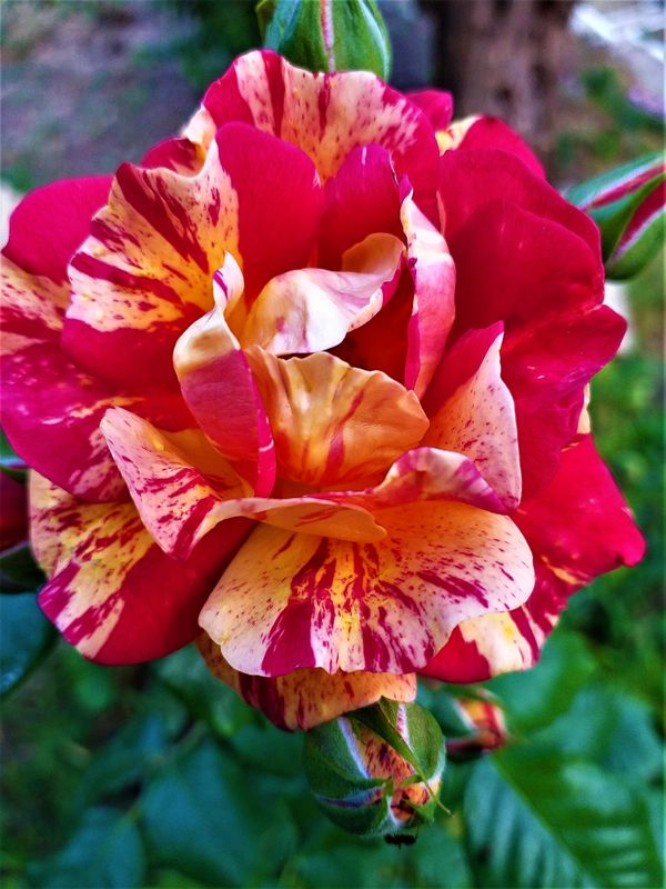 Two coloured rose