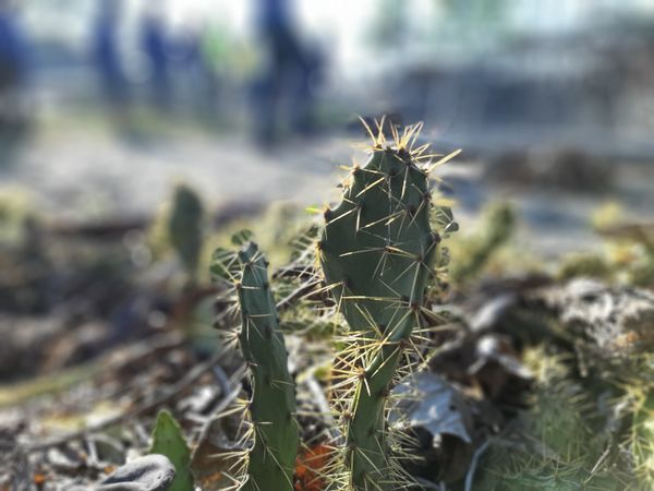 Cactus and Thorns
