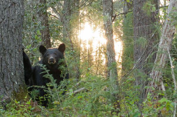 Smoky Mountain Black Bears