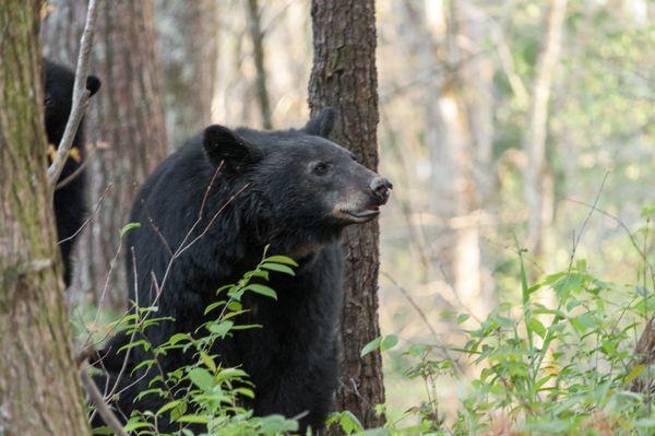 Big Mama Bear with cubs