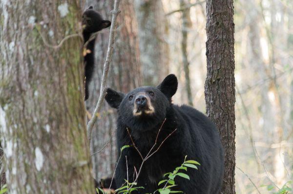 Bear cub in tree behind Mama Bear