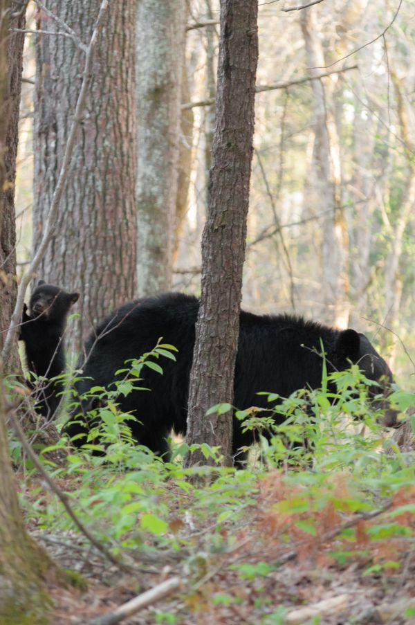 Baby black bear staying close to momma bear
