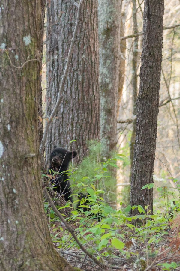 Bear cub trying to hid from strangers