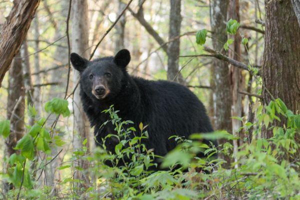 Black bear looking at me and my camera