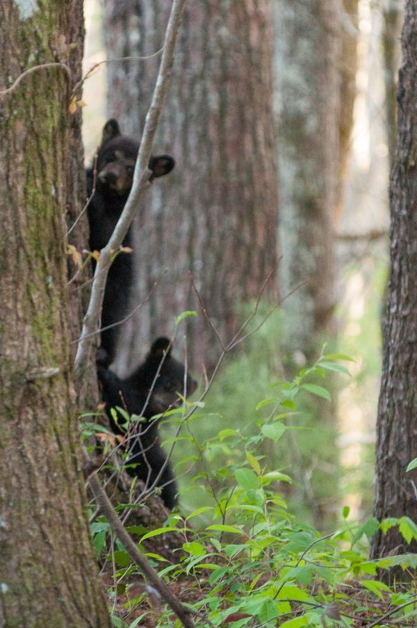 Two bear cubs climbing a tree