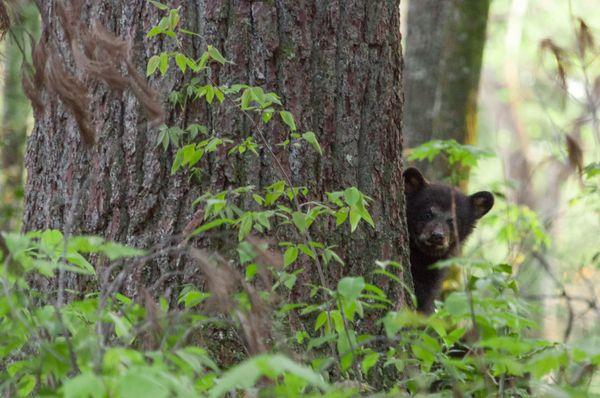 Black bear cub peeking around a tree