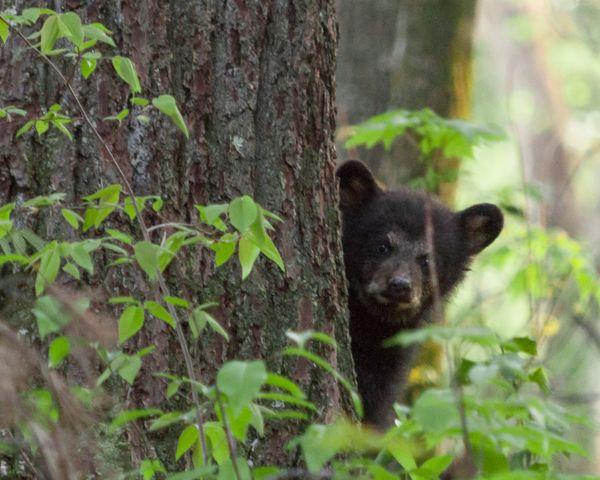 Baby black bear close-up