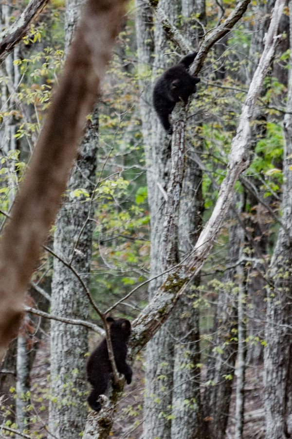 Black bears climbing trees - you cant catch me