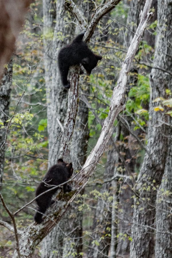 Two baby bears in the trees - Ok, Im waiting for you