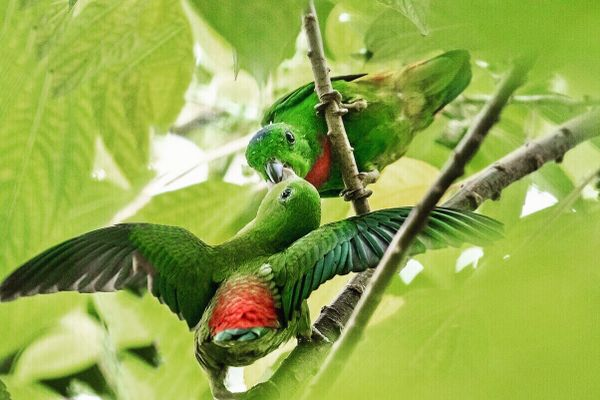 Parrots enjoying a mulberry tree in the wild