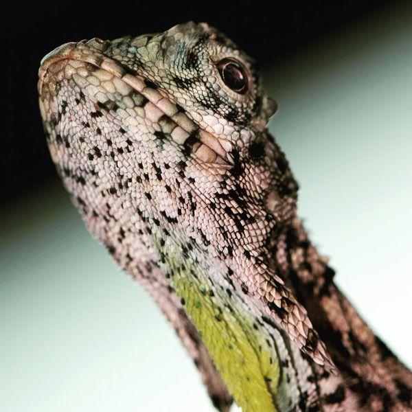 Portrait of a draco (flying lizard)