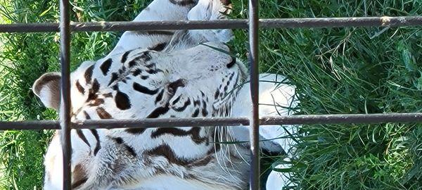 Tiger at Wildlife safari in Strafford Mo. 20210915_122307