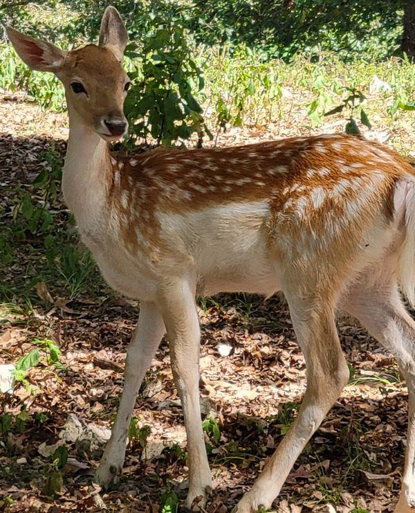 Deer at Wildlife Safari Strafford Mo 20210915_125353