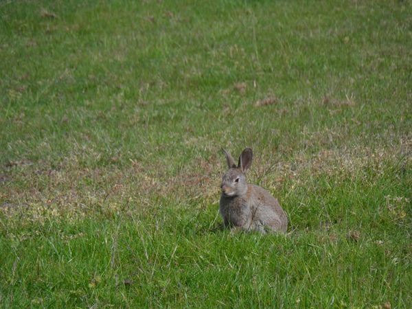 A wild rabbit having a minute