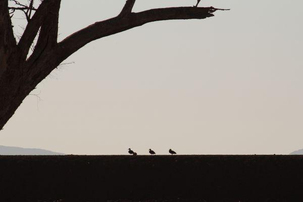 Three Ducks on the Levee Bank