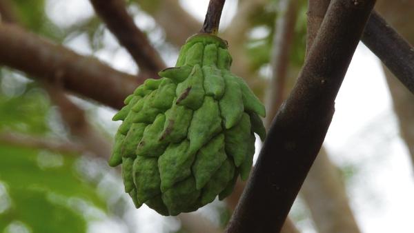 Durian belender fruit