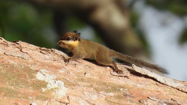 Plain pygmy squirrel borneo