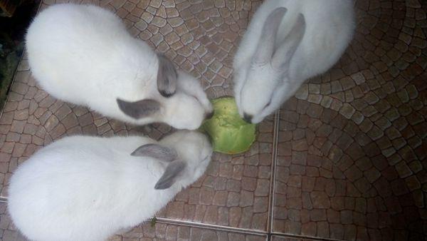 Coelhos alimentando