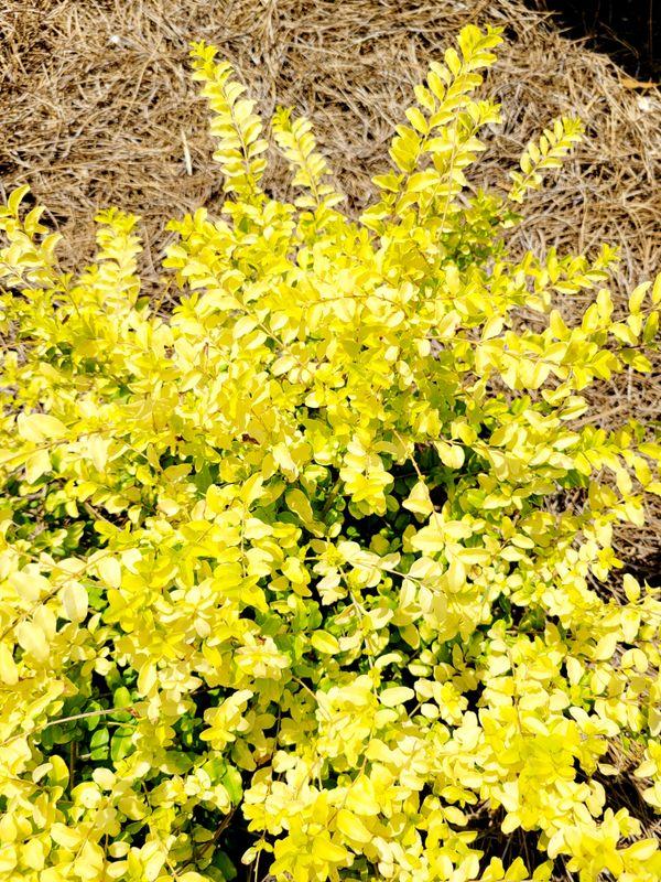 Yellow shrub small bush