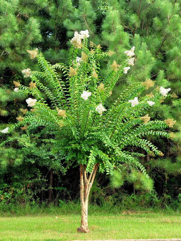 White crape myrtle tree pine green