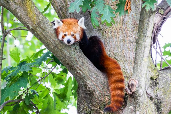 Red panda - Ailurus Fulgens - portrait. Cute animal resting lazy on a tree, useful for environment concepts.